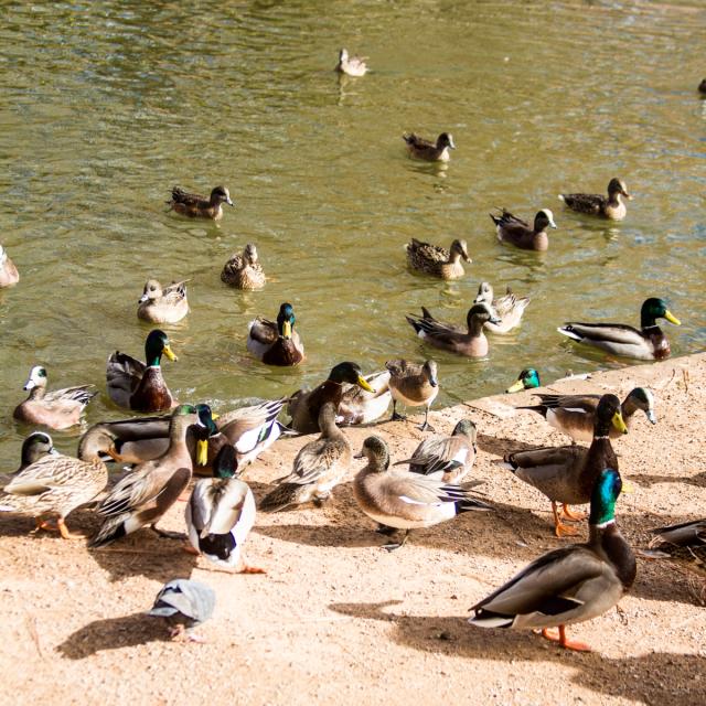 Duck Rush