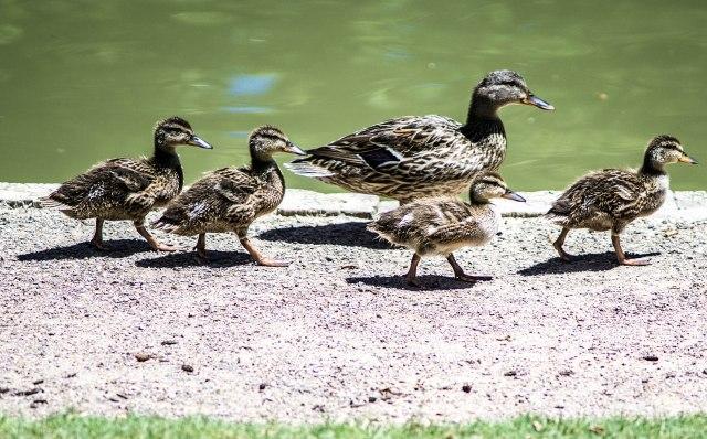 Run for it duckies